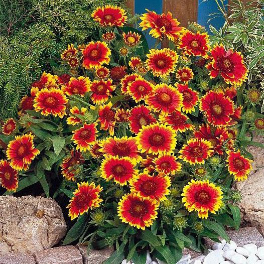 Hạt giống hoa mật Gailardia (cúc lạc)