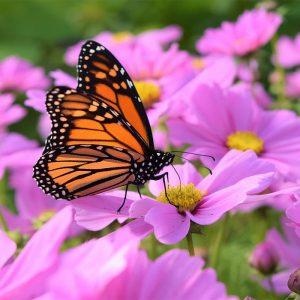 Hạt giốnghoa cánh bướm mix (Cosmos)