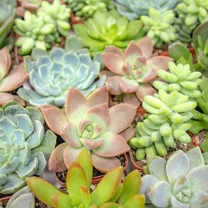 Hạt giốngsen đá mix nhiều màu (Echeveria)