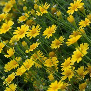 Hạt giống hoa cúc sao băng vàng (Thymophylla)